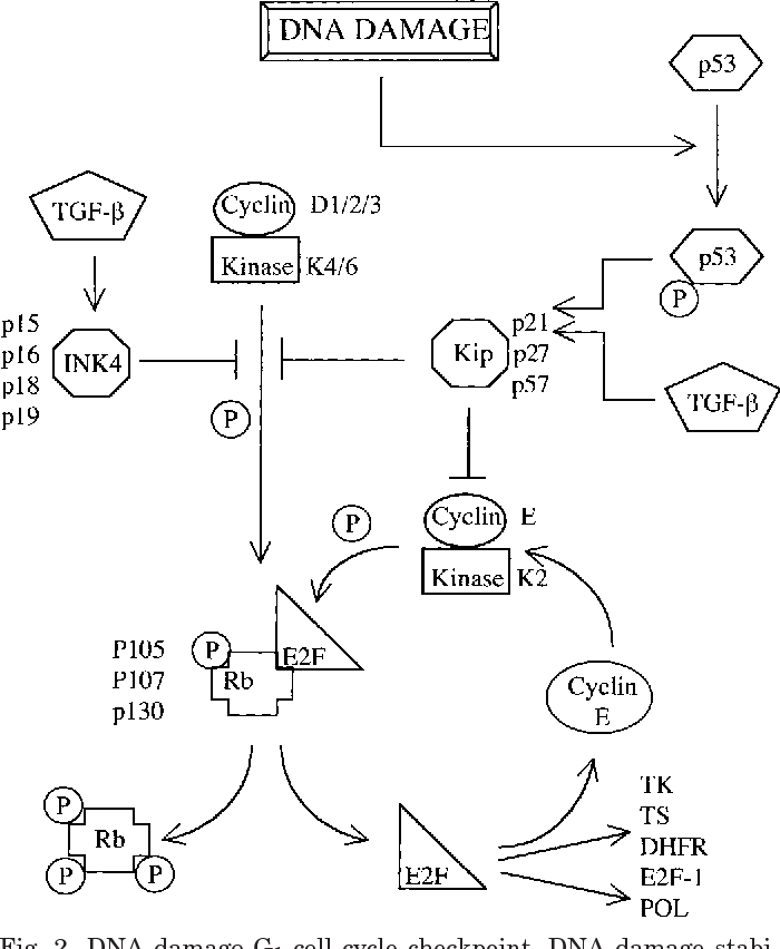 Figure 2 From Dna Damage And Cell Cycle Checkpoints In Hyperoxic