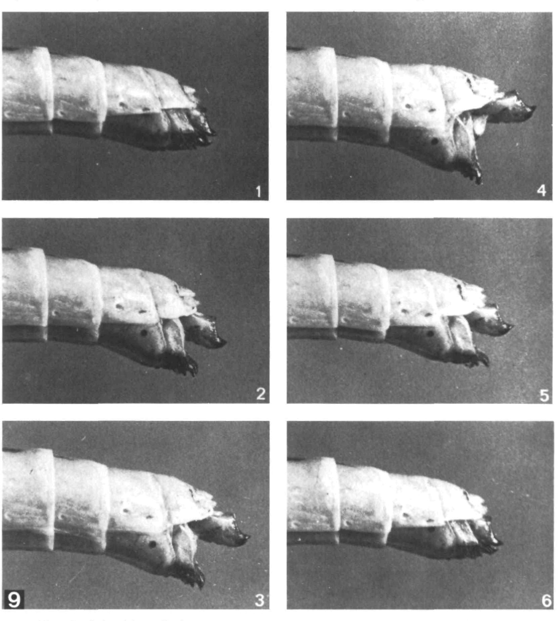 Figure 9 from Oviposition digging in the grasshopper. I. Functional ...