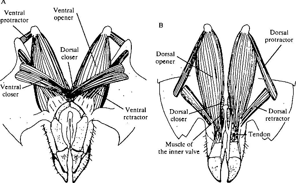 Figure 4 from Oviposition digging in the grasshopper. I. Functional ...