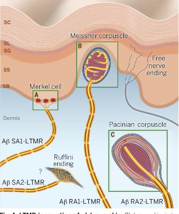The Gentle Touch Receptors Of Mammalian Skin Semantic Scholar