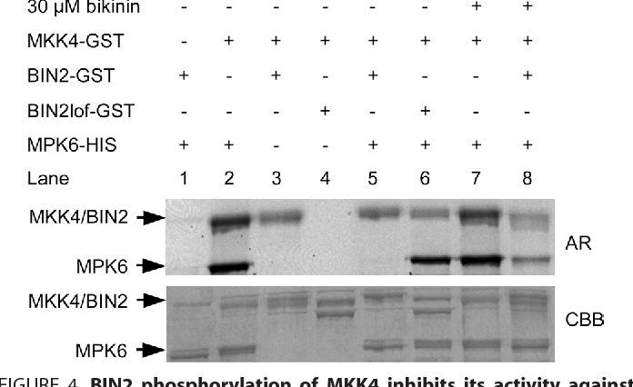 Figure 4 from Stomata Mitogen-activated Protein ( MAP ) Kinase GSK 3