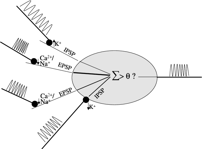 Figure 2.7: A closed dipole field generated by a star cell. Aff.: Afferences causing a negative pole at the outer end of the dendrites.