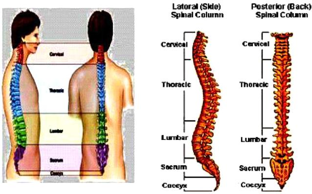 Investigation On Human Lumbar Spine Mri Image Using Finite Element