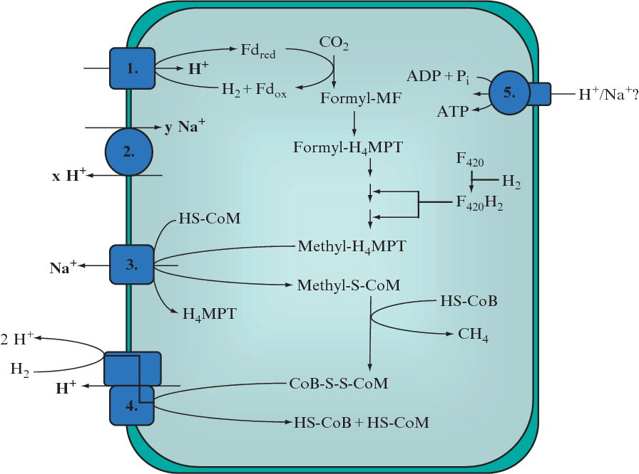 Sodium Ion Translocation And Atp Synthesis In Methanogens