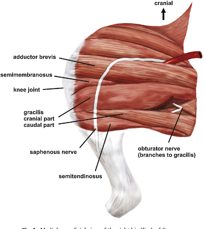adductor muscle group in caviomorph rodents : anatomy nd homology ...