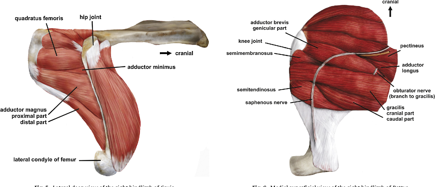 The hip adductor muscle group in caviomorph rodents: anatomy and ...