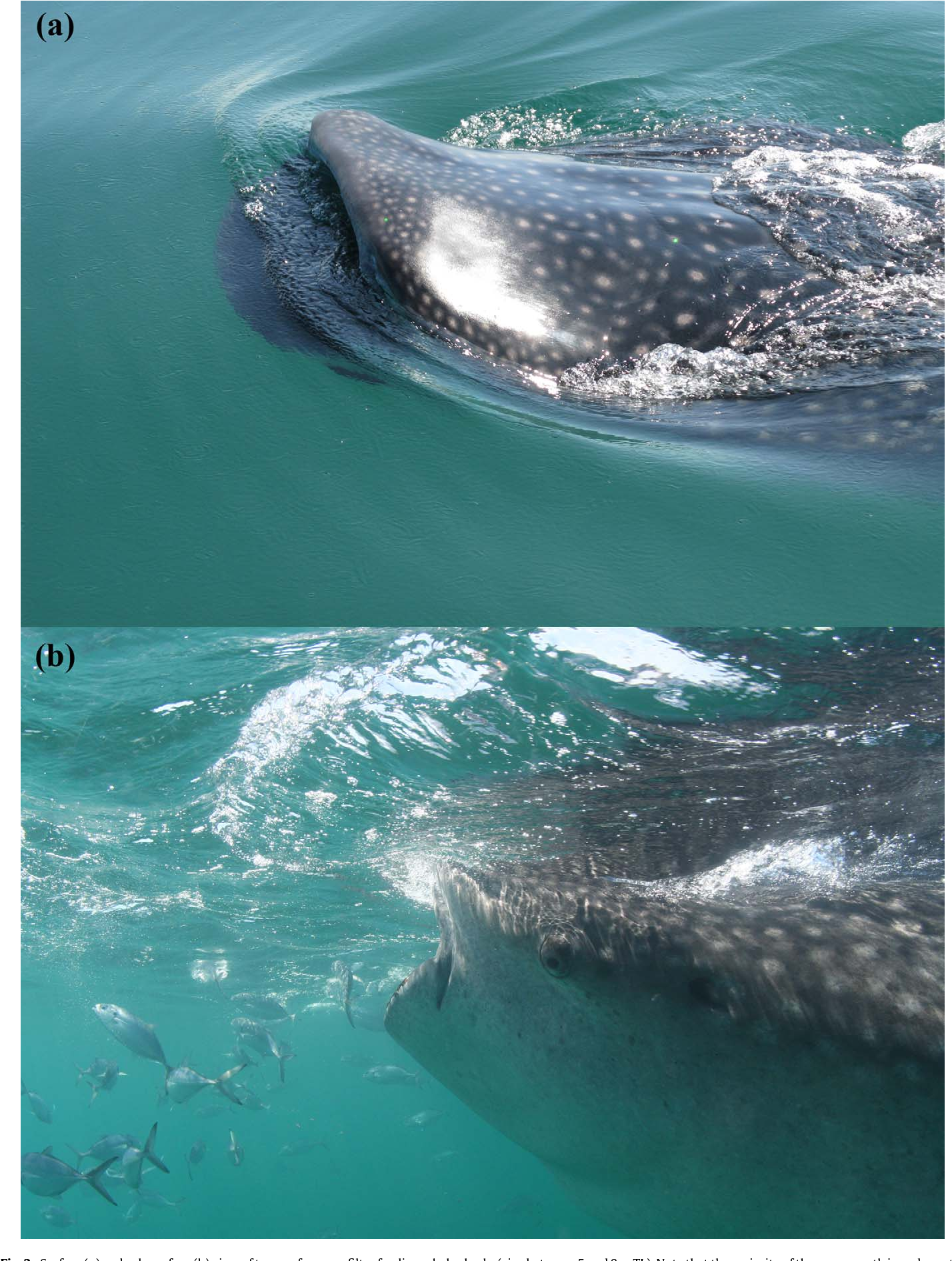 Feeding anatomy, filter-feeding rate, and diet of whale sharks ...