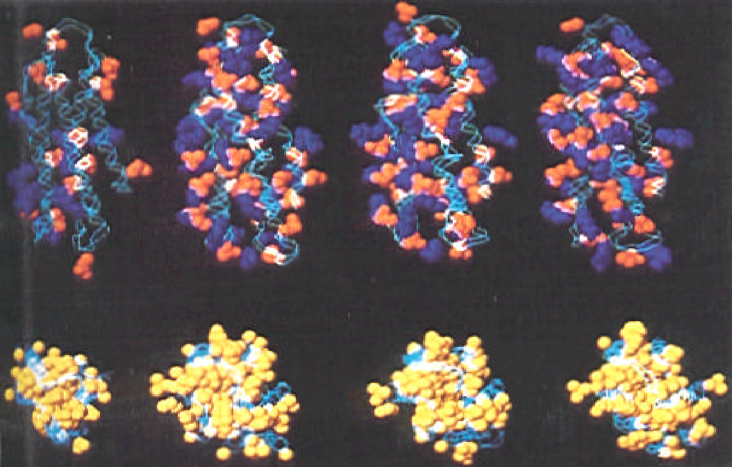 Figure 7. Energy refined models of from left to right apo lipophorin III(residues 7-156) canine