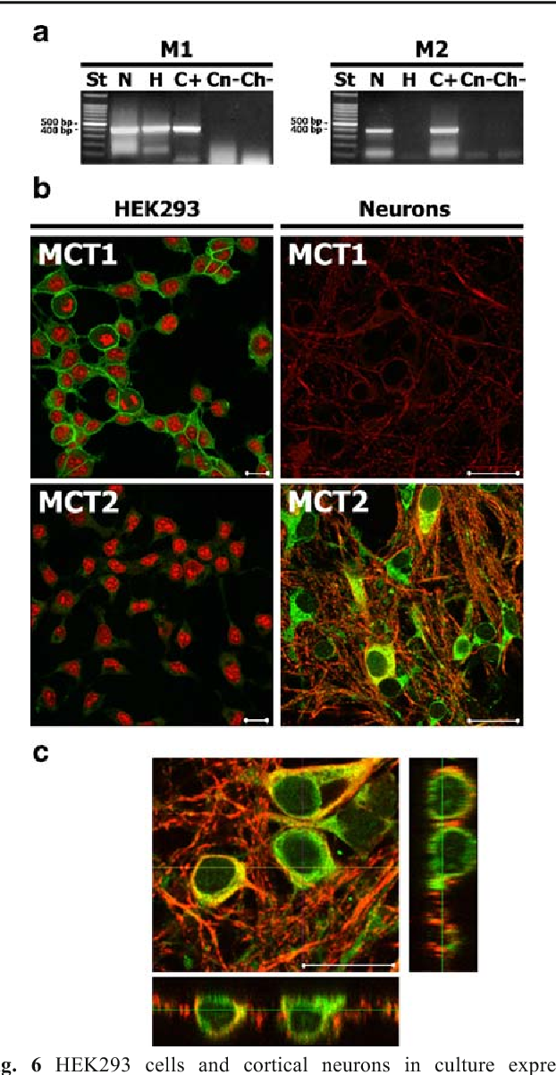 Fig. 6 HEK293 cells and cortical neurons in culture express monocarboxylate transporters (MCT). a RT-PCR analysis for MCT1 (M1) and MCT2 (M2) from mRNA of HEK293 cells (H) and cortical neurons (N) in culture. DNA 100-base pair (bp) standard (St.); positive reactions using rat brain mRNA (C+); negative reaction with neuron mRNA (Cn−); negative reaction with HEK293 mRNA (Ch−). The numbers on the left indicate the base pairs. b Immunofluorescence analysis for MCT1 (green) and MCT2 (green) in HEK293 cells (left) and cortical neurons (right) in culture. For cultured neurons, cells were co-stained with an antibody for Tau46 (red). For cultured HEK293 cells, nuclei were stained with propidium iodide (red). c Confocal microscopy analysis for immunofluorescence study of MCT2 (green) and Tau46 (red) in cultured cortical neurons. The big panel (xy) is an image taken in the x–y plane (projected z-series). The bottom and right panels (xz and yz, respectively) are x–z and y–z images of vertical