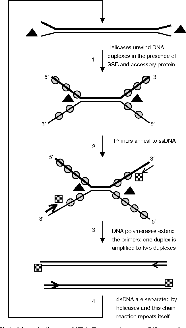 fig 1 | schematic diagram of hda  two complementary dna strands are shown  as two