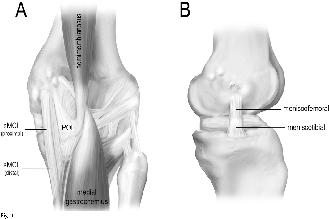 Structures Of The Knee Injuries To The Medial Collateral Ligament