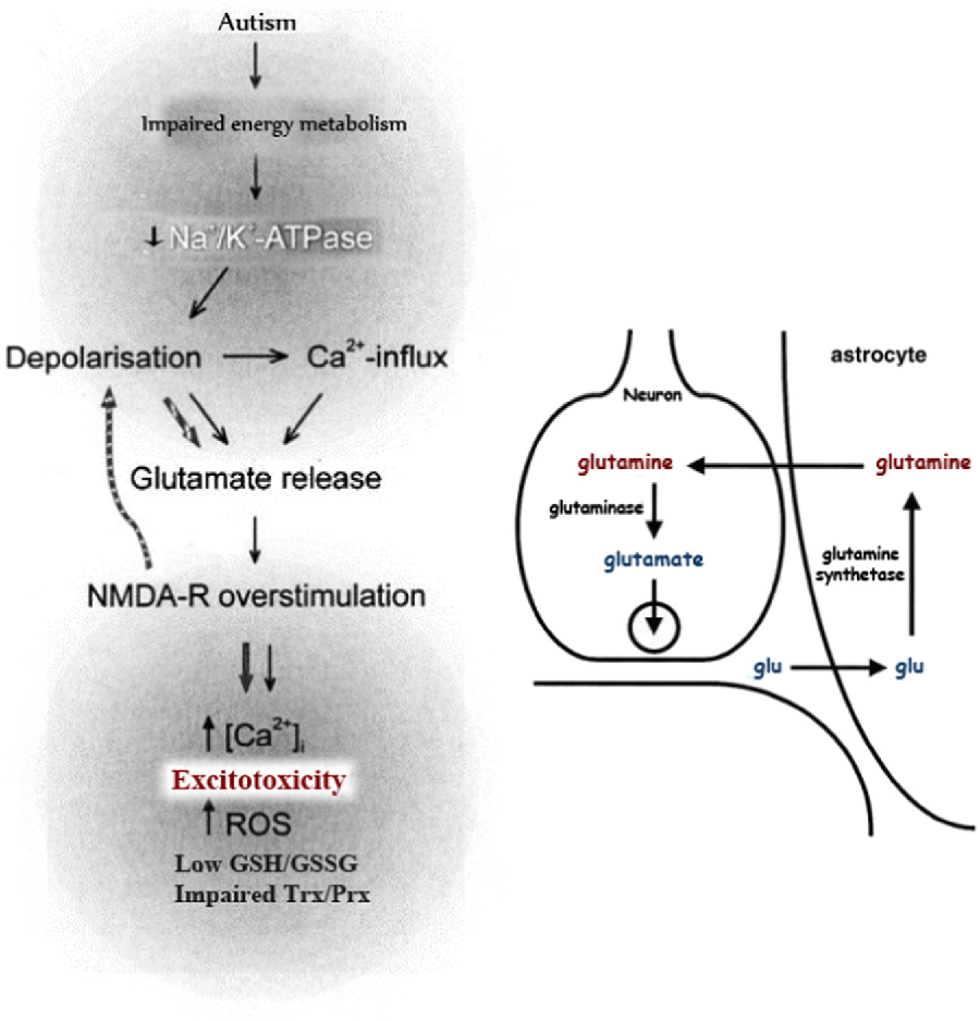 Fig. 1. Illustrated relationship between the associated glutamate excitotoxicity, oxidative stress and impaired detoxification markers in autistic patients.