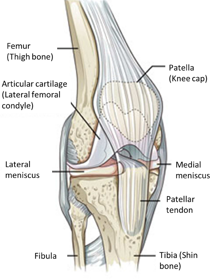 Figure 8.1 from Analysis of 3 D Strain in the Human Medial Meniscus ...