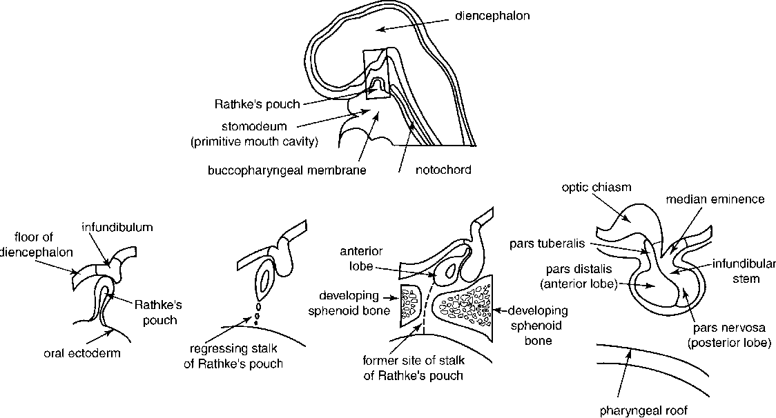 Figure 1 from Pituitary anatomy and physiology. - Semantic Scholar
