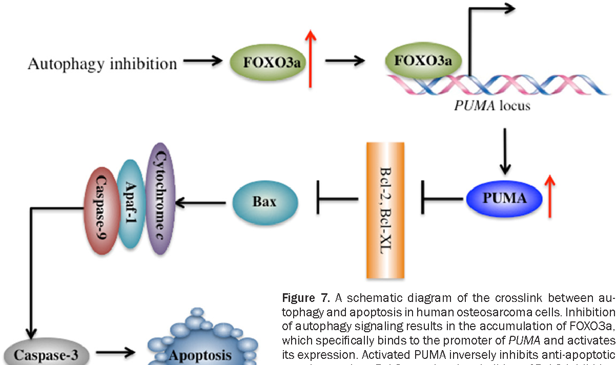 Autophagic degradation of FOXO3a represses the expression of PUMA to block  cell apoptosis in cisplatin-resistant osteosarcoma cells. - Semantic Scholar