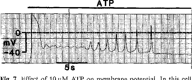Fig. 7. Effect of 10 gM ATP on membrane potential. In this cell, resting membrane potential was - 60 mV