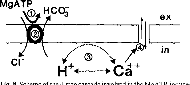 Fig. 8. Scheme of the 4-step cascade involved in the MgATP-induced increase in cardiac membrane conductance. MgATP (1) activates the C1-/HCO~ exchanger (2). The addition of extracellular ATP accelerates HCO~ efflux and thus induces an intraceltular (in) acidification. From internal binding sites the increase in H + liberates Ca 2 + (3), which triggers the increase in a non-specific cation membrane conductance (4)