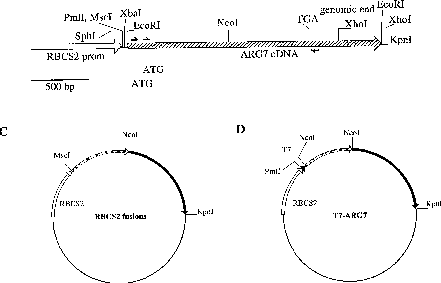 The Argininosuccinate Lyase Gene Of Chlamydomonas Reinhardtii