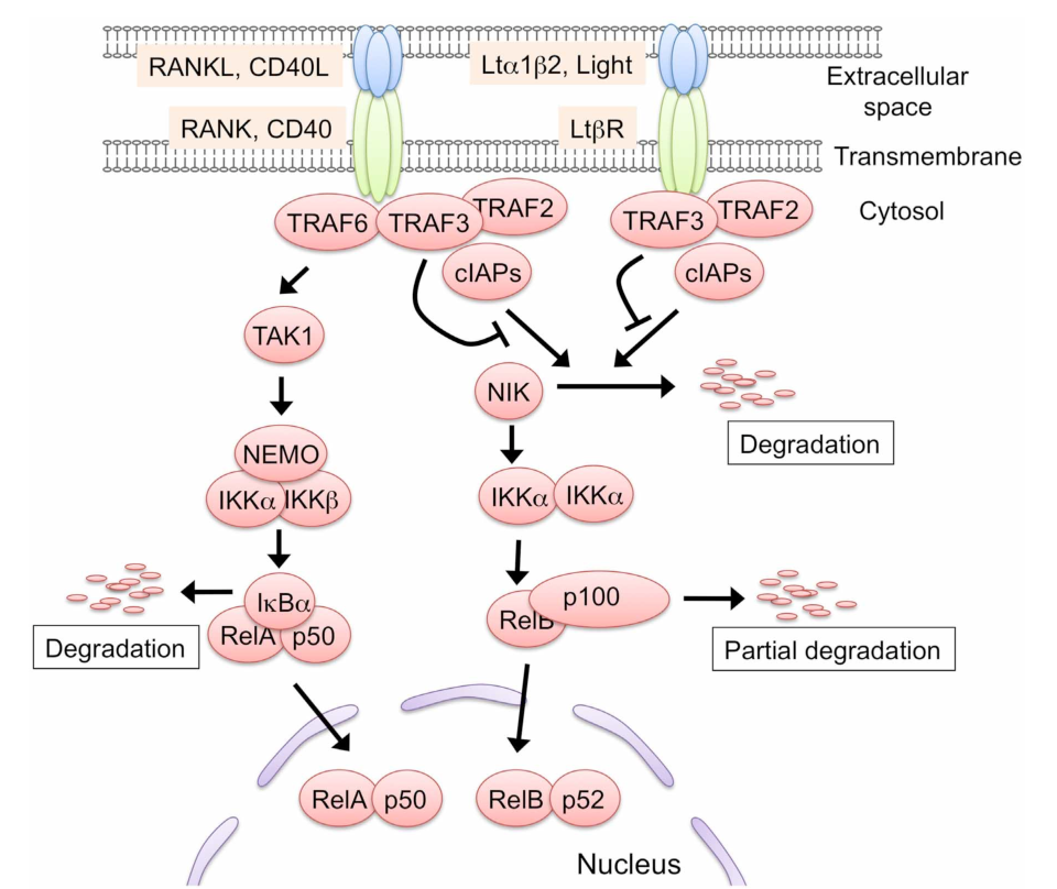 Tnf Receptor Family Signaling In The Development And Functions Of