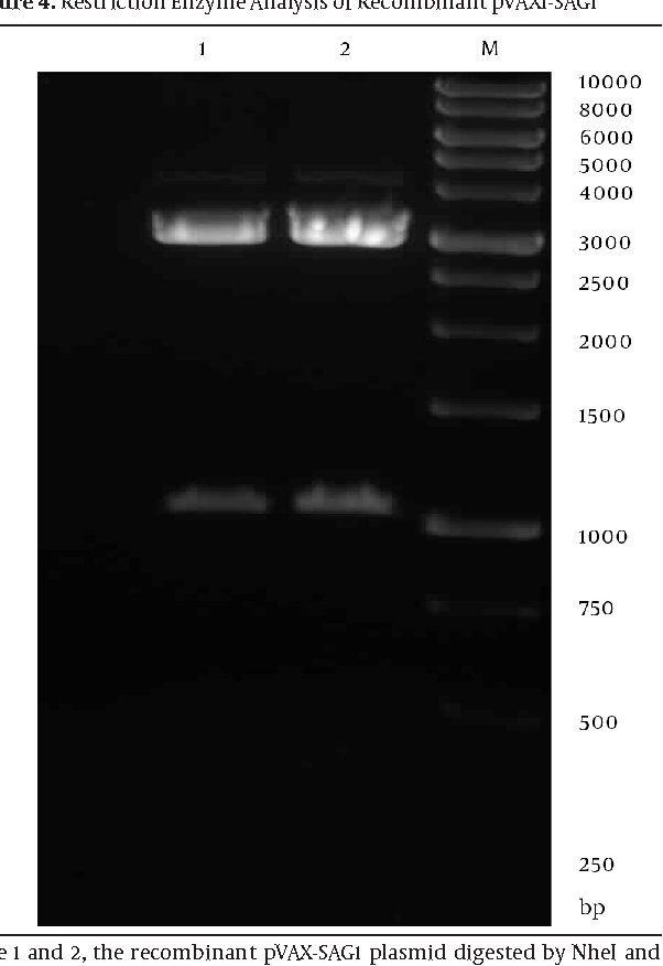 Figure 4. Restriction Enzyme Analysis of Recombinant pVAX1-SAG1
