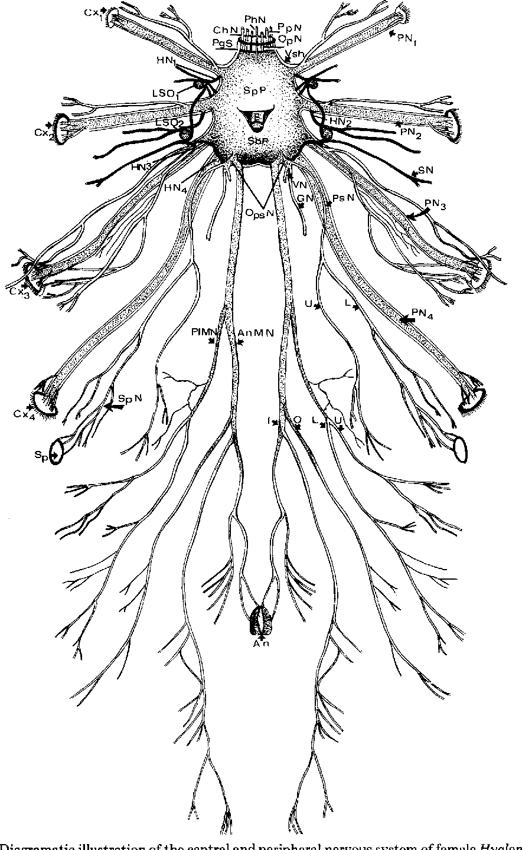 Figure 1 from Hyalomma dromedarii (Acari: Ixodoidea: Ixodidae ...