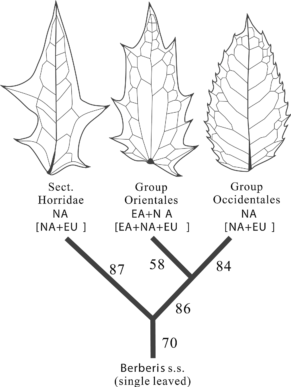 figure 1 from the oldest mahonia berberidaceae fossil from east Types of Ferns fig 1 phylogeographic relationships in berberidaceae based on kim et al 2004