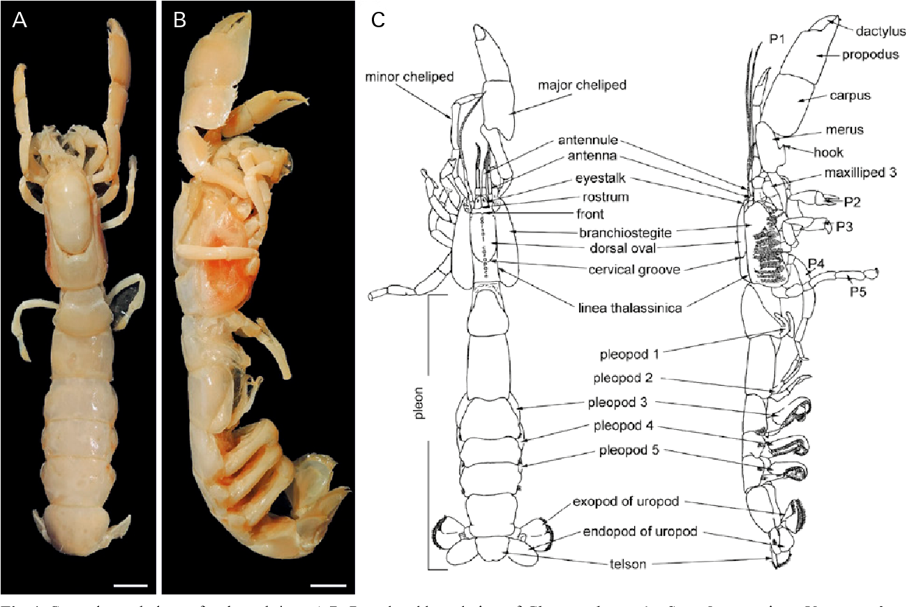 Systematics, phylogeny, and taphonomy of ghost shrimps (Decapoda): a ...