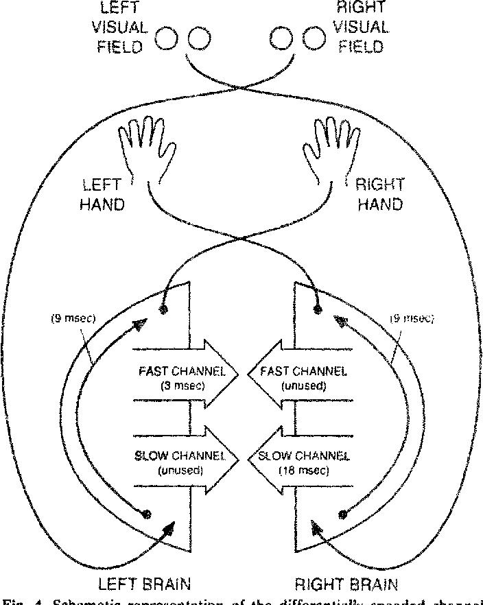 Estimation Of Interhemispheric Dynamics From Simple Unimanual