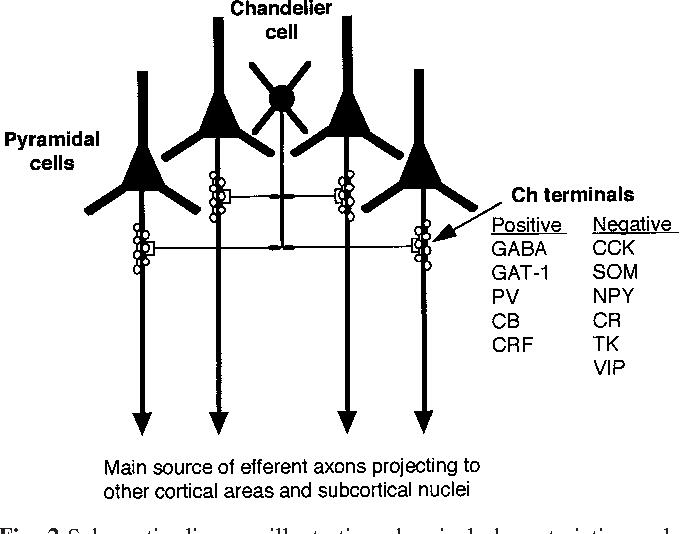 Chandelier cells and epilepsy semantic scholar figure 2 aloadofball Gallery