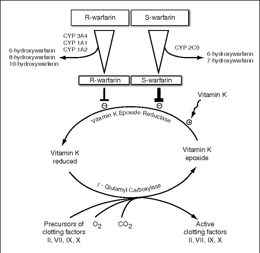 Figure 1 From Warfarin Pharmacogenomics