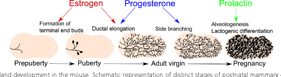 Figure 1 From Progesterone And Overlooked Endocrine -9560