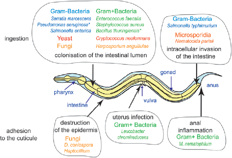 Figure 1 From Chapter 6 Innate Immunity In C Elegans Semantic