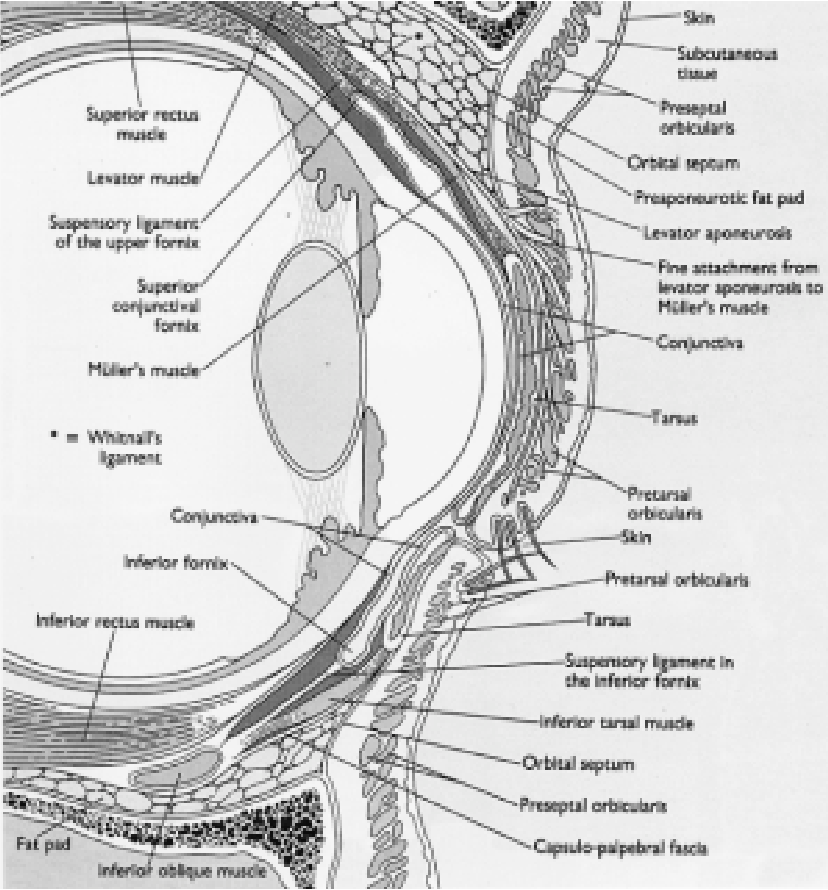 Figure 2 from Abnormalities of eyelid position and function ...
