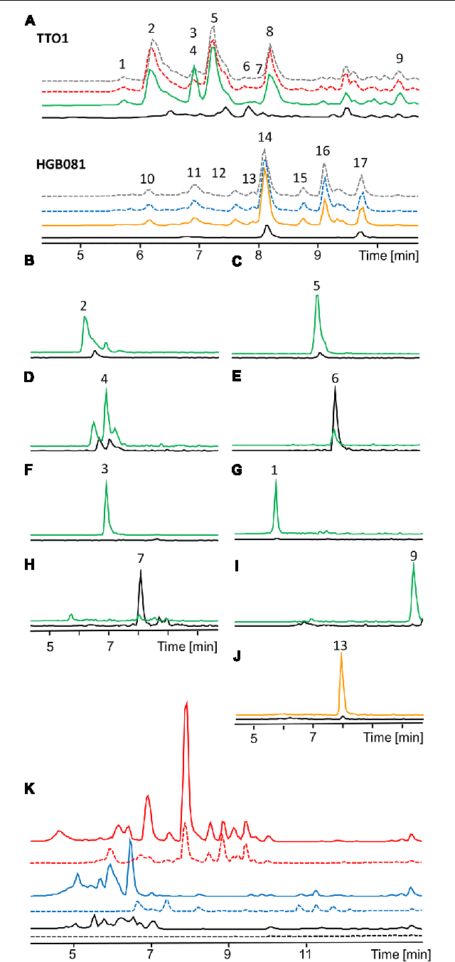 FIGURE 3 | HPLC-MS analysis of natural product production of P. luminescens TTO1 and X. nematophila HGB081 (A, Base peak chromatogram). Wild type (P. luminescens: red dashed, X. nematophila: blue dashed), wild type + 0.2% arabinose (gray dashed), PBAD-lrp (black), PBAD-lrp + ara (P. luminescens: green, X. nematophila: orange). (1) m/z 379.2 [M+2H]2+, (2) m/z 312.1 [M+H]+, (3) m/z 321.1 [M+H]+, (4) m/z 420.1 [M+H]+, (5) m/z 326.0 [M+H]+, (6) m/z 317.0 [M+H]+, (7) m/z 315.1 [M+H]+, (8) anthraquinone, (9) m/z 452.1 [M+H]+, (10,11) xenocoumacins, (12,14) xenortides, (13) m/z 428.2 [M+H]+, (15,16) rhabdopeptides, (17) rhabdopeptide and nematophin (B–J). Extracted ion chromatograms (EIC) of unidentified regulated compounds in PBAD-lrp (black), PBAD-lrp + ara [P. luminescens (B–I): green, X. nematophila (J): orange]. (K) Comparison of base peak chromatograms of P. luminescens (blue) and X. nematophila (red) wild type cultures grown on LB (continuous line) or SF900 medium (dashed line) and corresponding media controls (black).