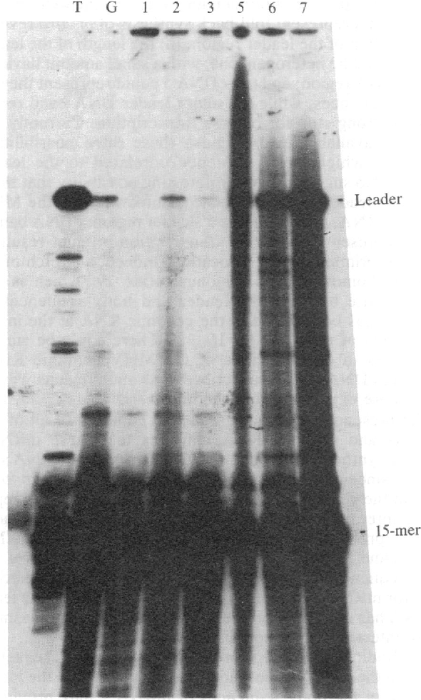 FIG. 5. Primer extension of the individual mRNA of MHV. The