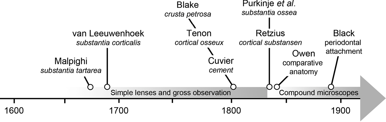 Figure 1 From On The Discovery Of Cementum Semantic Scholar