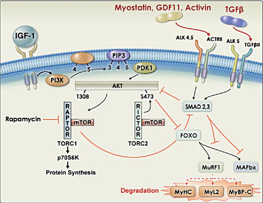 PI3 kinase regulation of skeletal muscle hypertrophy and ...