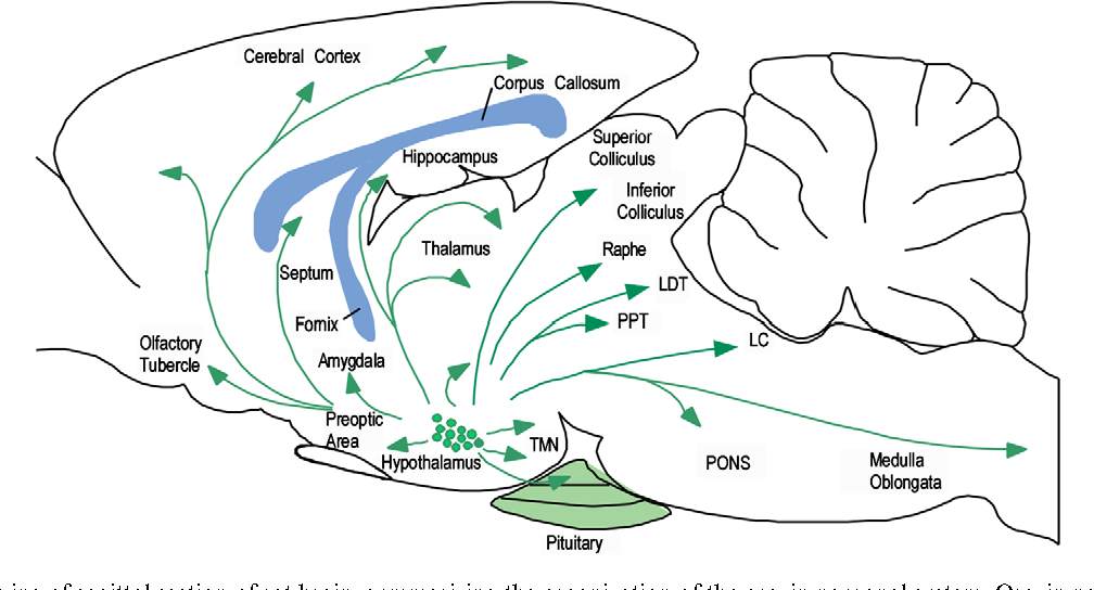 Figure 2 from Orexin neuronal circuitry: Role in the