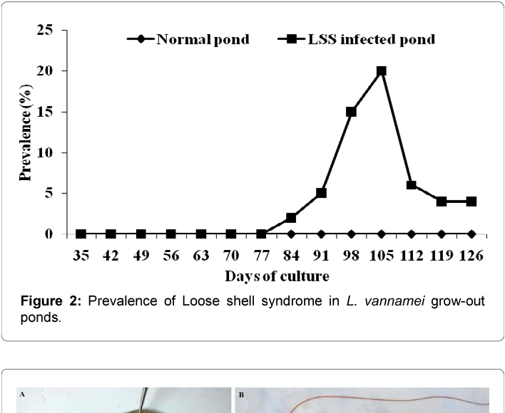 PDF] Loose Shell Syndrome (LSS) in Litopenaeus vannamei grow-out