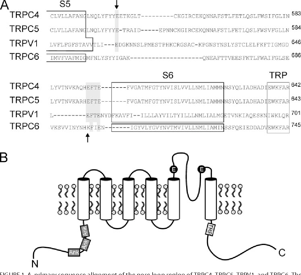 Figure 1 from Potentiation of TRPC 5 by Protons * - Semantic