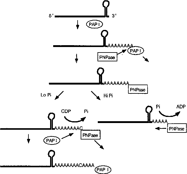 schematic representation of the role of pnpase in poly(a)