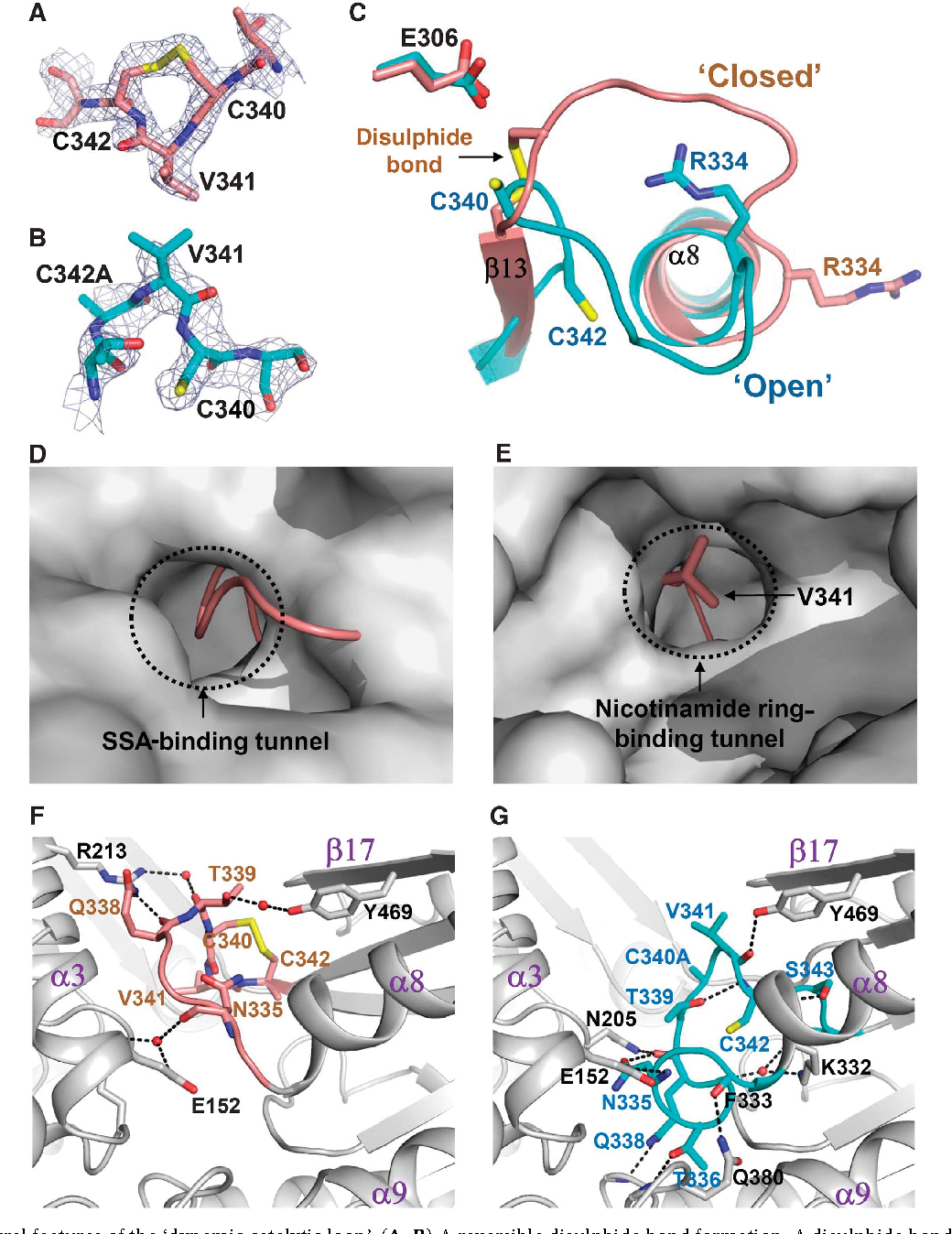 Redox-switch modulation of human SSADH by dynamic catalytic loop ...