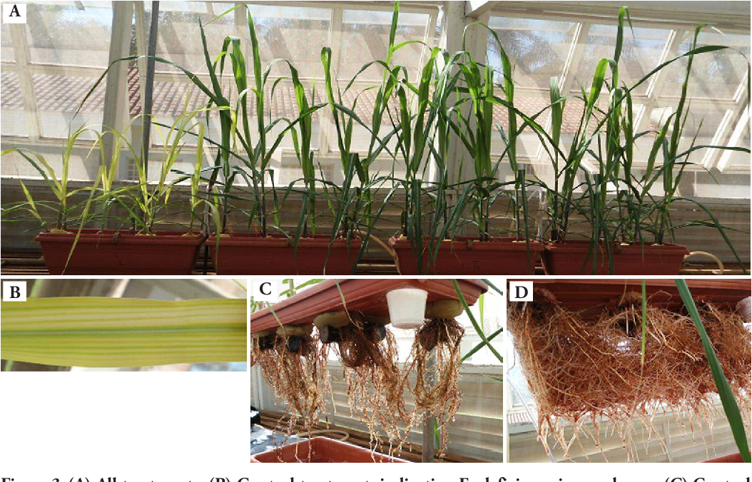 Figure 3 from IRON CONCENTRATIONS IN SUGAR CANE (Saccharum
