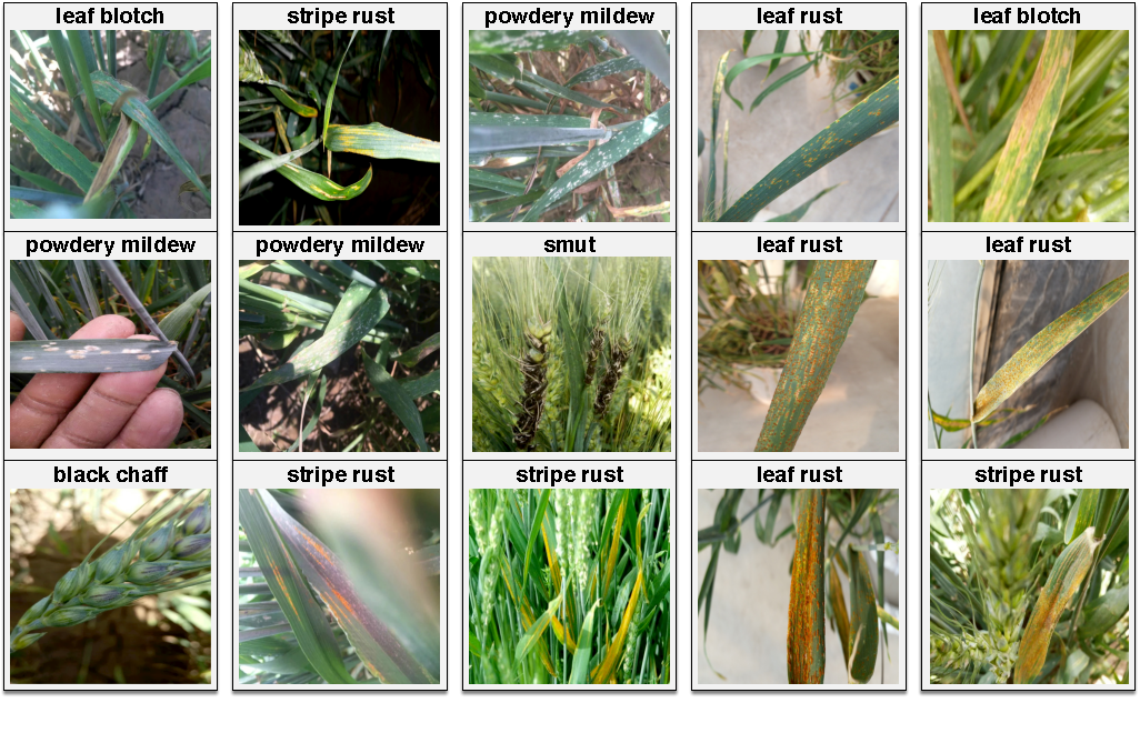 Figure 1 for An In-field Automatic Wheat Disease Diagnosis System
