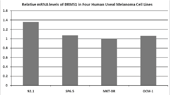 Figure 1. Expression levels of BRMS1 mRNA in four human UM cell lines, determined by RT-PCR. All four cell lines express BRMS1 in the mRNA level. The relative expression across cell lines is similar.