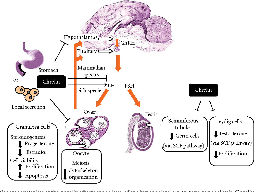 Ghrelin in Female and Male Reproduction - Semantic Scholar