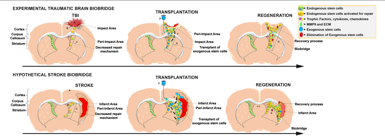 Figure 1 from Stem Cell-Induced Biobridges as Possible Tools to Aid
