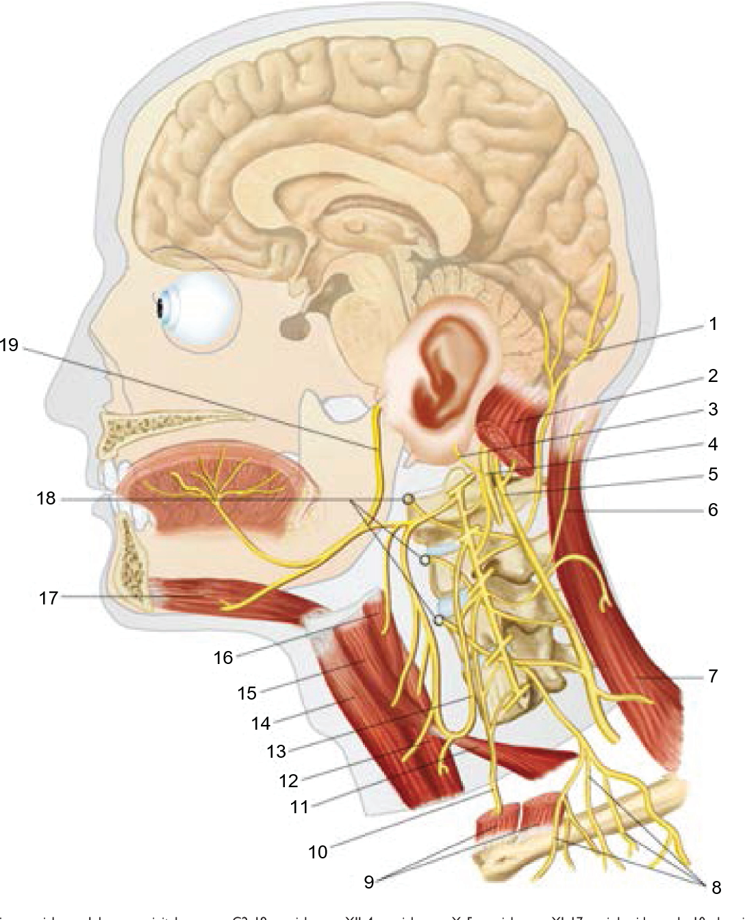 Figure 3 from Anatomic connections of the diaphragm